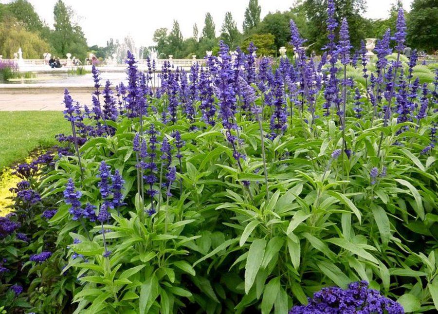 Blue Perennial Sage